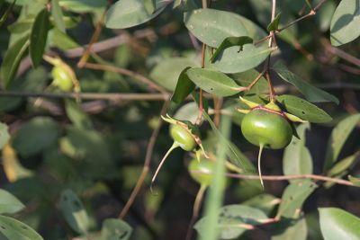 trái bần chua, nguồn ảnh từ trang web Thuốc dân tộc