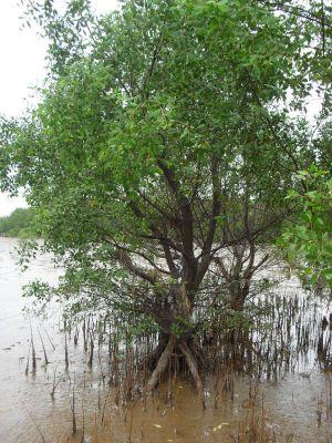 cây và rễ bần, nguồn ảnh: https://www.facebook.com/khusinhthaiconchimdamthinai/posts/524649457687532/